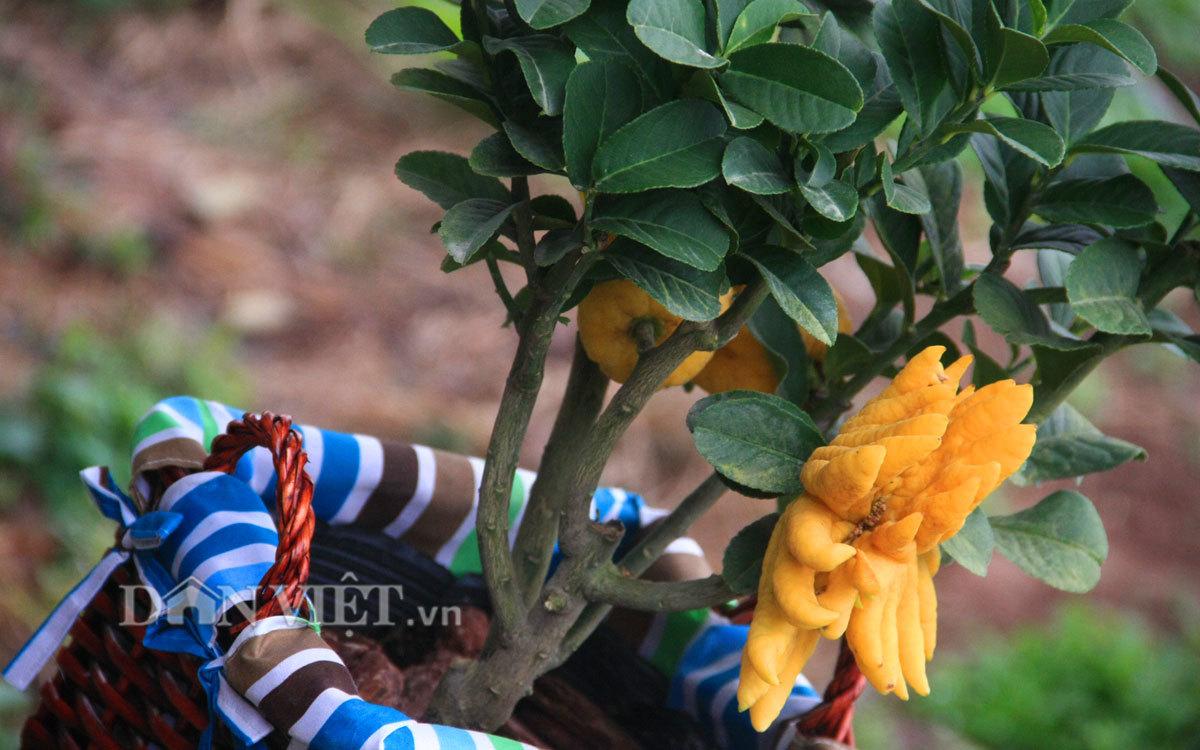 """Phật thủ bonsai dáng """"bàn tay chắp"""" cực lạ giá hơn chục triệu"""