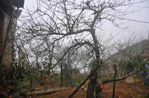 Đào rừng cổ thụ có 21 nhánh lan ký sinh có giá chục triệu đồng