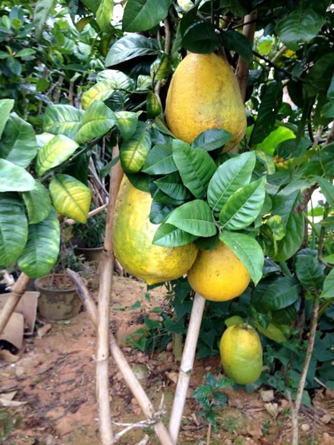 chanh-khổng-lồ, cây-kỳ-đà, chanh-ngọt, độc, lạ, Lâm-Đồng, Đà-Lạt, Sài-Gòn