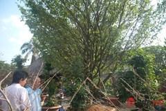 Chiêm ngưỡng 2 cây mai cổ thụ giá hơn 100 tấn thóc ở Sài Gòn