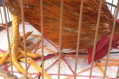 Đi chợ Tết xem gà 6 cựa, da báo nguyên con