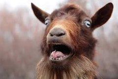 """Sửng sốt với những con dê """"la hét"""" như người"""