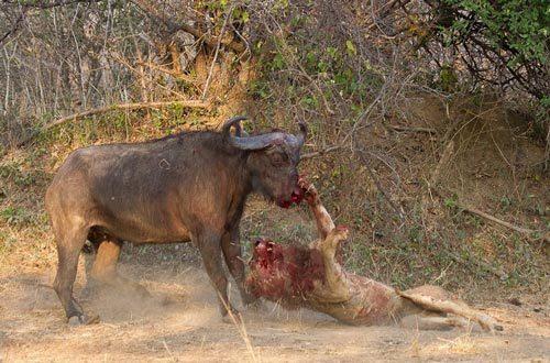 Sư tử tàn tạ sau trận chiến sinh tử với trâu rừng