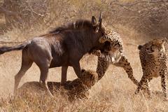 Linh dương ngoạn mục thoát vòng vây của báo Cheetah