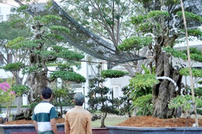 """Hai cây khế """"độc"""" 7 tỷ đồng ở Sài Gòn"""