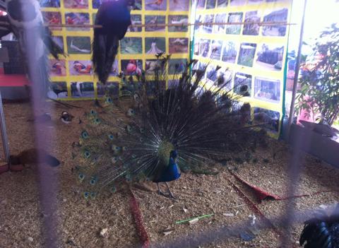 Gà hoàng gia, chim hoàng đế  vào cỗ Tết nhà giàu