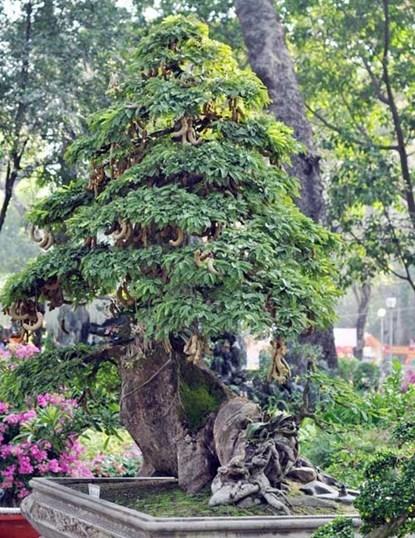 Ngắm cây me gần 100 tuổi trĩu quả có giá bạc tỷ
