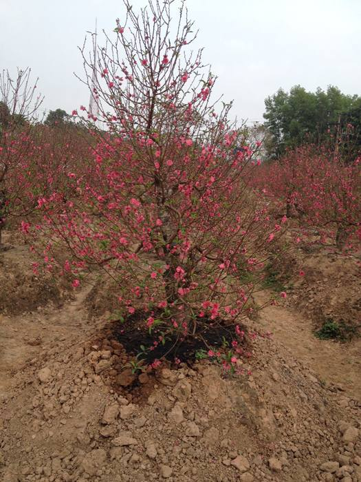 Dịch vụ trồng đào thuê sau tết giá 1 triệu/cây gây sốt