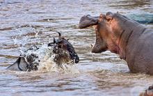 Kỳ lạ cảnh hà mã ăn thịt linh dương đầu bò?