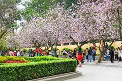 Hoa ban nở rộ đẹp nao lòng, giới trẻ Hà Thành nô nức chụp hình