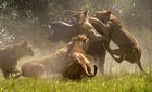 Trâu rừng húc sư tử lăn lộn trên mặt đất