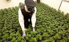Nhiều trẻ em Việt Nam làm nô lệ trồng cần sa ở Anh