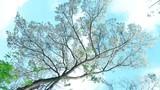 Mê mẩn trước những cung đường hoa sưa trắng đẹp đến nao lòng