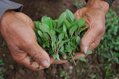Khu vườn cuối cùng trồng húng Láng ở Hà Nội