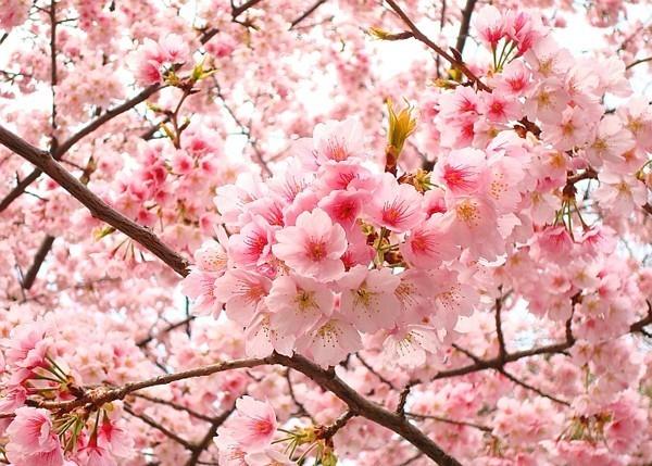 Những thành phố tuyệt nhất để ngắm hoa anh đào