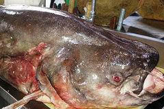 """Ngư dân bắt được cá leo """"khổng lồ"""" dài 1,7 mét"""
