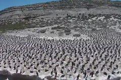 Ngoạn mục cảnh chim làm tổ dày đặc trên bãi biển