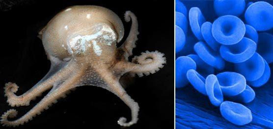 Phát hiện loài động vật có máu xanh kỳ lạ