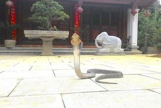 Vượng râu hoảng hốt khi thấy rắn hổ mang xuất hiện ở phủ thờ