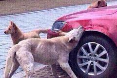 Bị đá, chú chó gọi đồng bọn đến cắn xe của kẻ thù