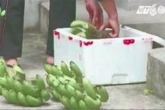 Kinh hoàng: 5ml hóa chất giấm chín 60kg trái cây siêu tốc