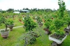 1.000 cây cổ tùng trong vườn đại gia Bê Trầm