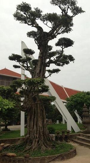 vườn cây, đại gia, tỷ đô, cây cảnh, cây triệu đô, nhà đại gia