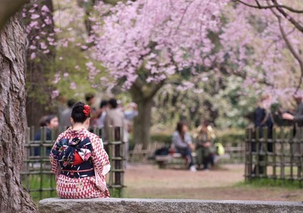 hoa anh đào, Nhật Bản, Hàn Quốc