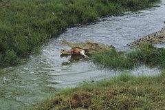 Du khách choáng váng chứng kiến cá sấu ăn thịt người