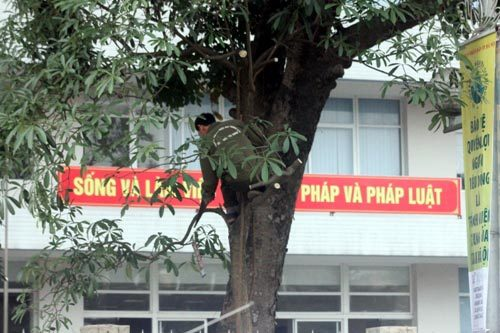 Hàng loạt cây xanh Hà Nội tiếp tục bị đốn hạ