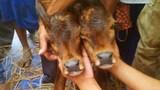 Bê hai đầu chào đời ở ở An Giang