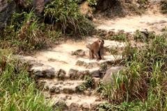 Ly kỳ cuộc vây bắt con khỉ tấn công du khách ở Đà Nẵng