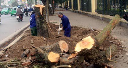 Gỗ từ 6.700 cây xanh bị chặt sẽ đi đâu?