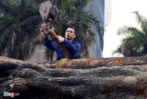 Xe chở cây bị chặt nườm nượp trên đường Hà Nội