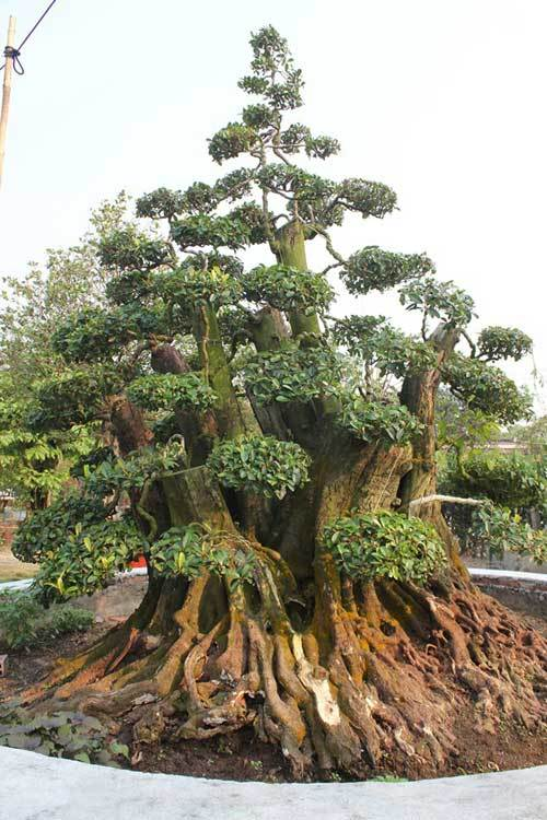Vườn cây trăm tuổi của ông chủ cặp khế 7 tỷ