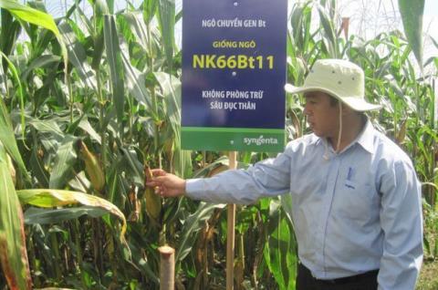 biến đổi gen, thực phẩm, sinh vật, GMO, cấp phép, giống ngô, Việt Nam, Mỹ, kinh nghiệm, bài học