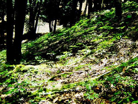 1.000 tấn sâm Ngọc Linh: Giấc mơ giá 2 tỷ USD trên đỉnh núi
