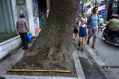 Những hàng cổ thụ 'thiếu đất sống' ở Thủ đô