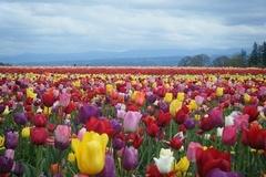 Đẹp như tranh vẽ những cánh đồng hoa tulip rực rỡ vào mùa