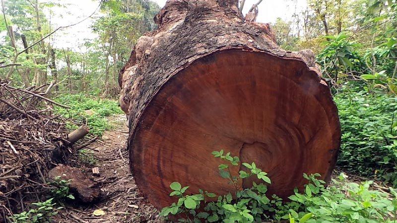 Cầu Diễn; chặt hạ; cây xanh; 6.700 cây; gỗ khủng; tập kết; kho gỗ