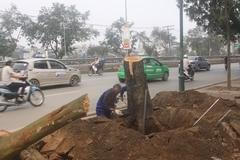 Chặt một cây xà cừ, Hà Nội chi gần 36 triệu