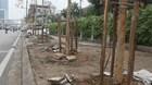 Ai quyết định trồng cây trên phố Nguyễn Chí Thanh?