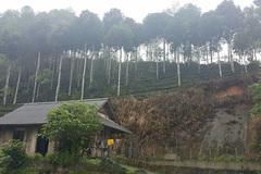 Sự thật về hàng cây mới trồng trên đường Nguyễn Chí Thanh