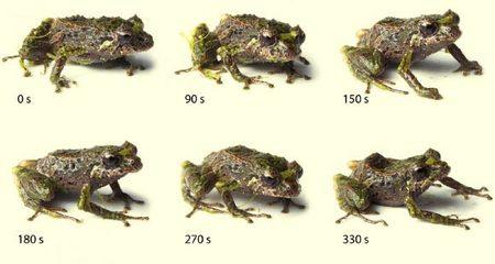 Phát hiện loài ếch biến hình dị thường