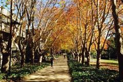 Ngẩn ngơ mùa thu vàng tháng tư Sydney