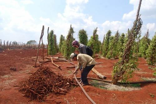 """Nhà nông Việt và những """"quả đắng"""" với tư thương Trung Quốc"""