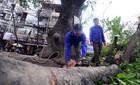 Thanh tra Chính phủ đề nghị HN làm rõ chủ trương chặt cây