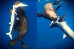 Sự trả thù ghê rợn của hải cẩu với cá mập