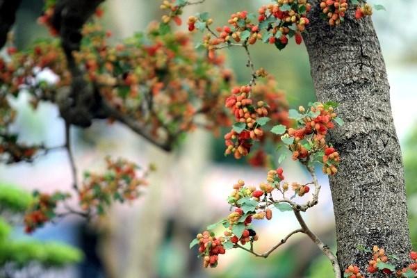 Chiêm ngưỡng cây dâu tằm giá 100 triệu đồng ở Hà Nội