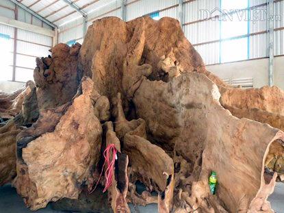 Rễ cây cổ phật 400 tuổi 12 tỷ không bán